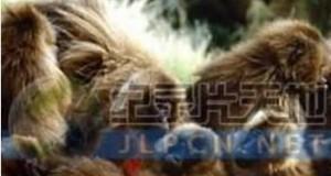 [英语中字]动物世界纪录片:国家地理-爱上狮尾狒 Cliffhangers 全3集 下载