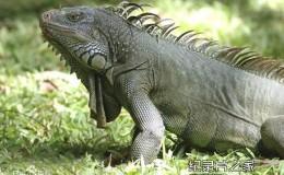 [英语中字]动物世界纪录片:BBC鬣蜥-活着的恐龙 Iguanas-living like dinosaur 全1集