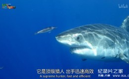 [英语中英字幕]动物世界纪录片:鲨鱼小队 Shark Squad 全4集 高清