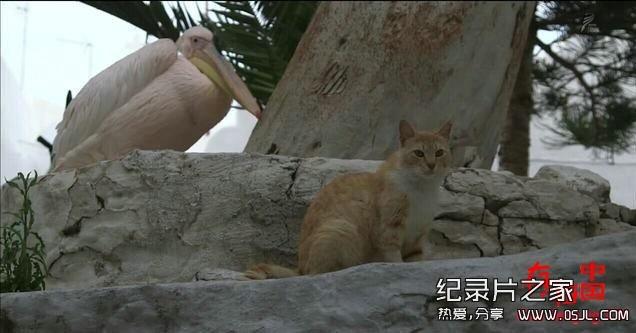 [日语中日字幕]动物世界纪录片:NHK-《岩合光昭的猫步走世界》30集 高清下载图片 No.5