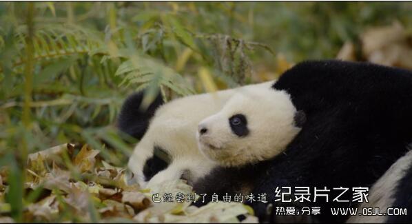 [国英双语]动物世界纪录片:2016.我们诞生在中国 Born.in.China 全1集 带中文字幕 高清720P下载图片 No.2