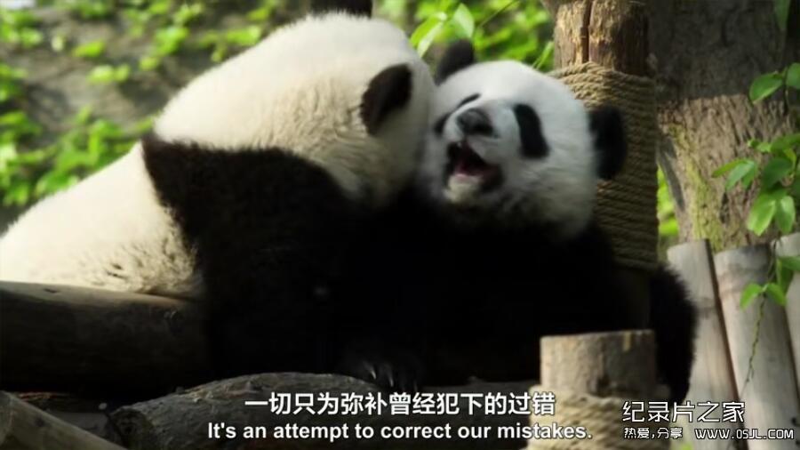 [英语中英字幕] 动物世界纪录片:BBC-熊猫缔造者.Panda.Maker 全1集下载图片 No.2