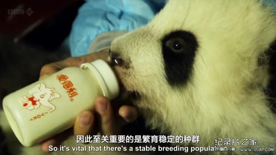 [英语中英字幕] 动物世界纪录片:BBC-熊猫缔造者.Panda.Maker 全1集下载图片 No.1