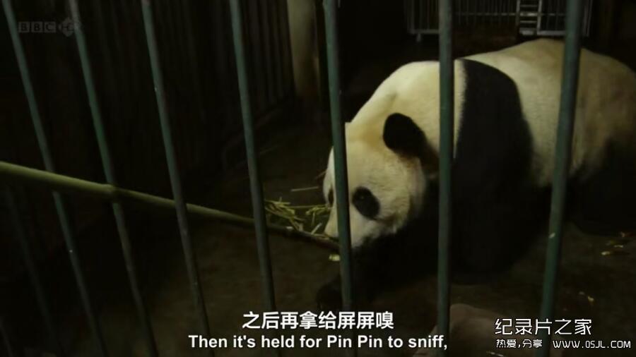 [英语中英字幕] 动物世界纪录片:BBC-熊猫缔造者.Panda.Maker 全1集下载图片 No.3