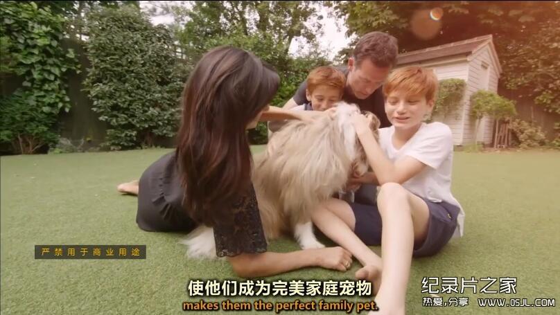 [英语中英字幕]bbc:狗狗秘闻(汪星人的秘密生活)Secret Life of Dogs 第三集 高清图片 No.3