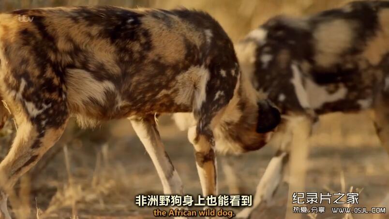 [英语中英字幕]bbc:狗狗秘闻(汪星人的秘密生活)Secret Life of Dogs 第三集 高清图片 No.2