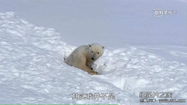[英语中字]动物世界纪录片:BBC-我和北极熊一家 The Polar Bear Family & Me 全3集图片 No.3