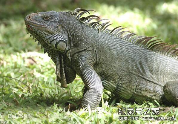 [英语中字]动物世界纪录片:BBC鬣蜥-活着的恐龙 Iguanas-living like dinosaur 全1集图片