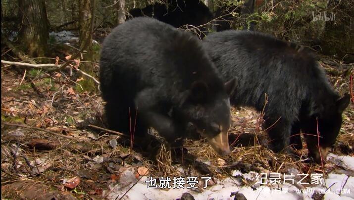 [英语中字]动物世界纪录片:莉莉-一头熊的生活-Natural World: Lily – A Bear's Life 全1集 超清1080P图片 No.2