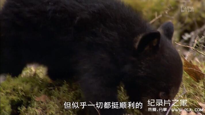 [英语中字]动物世界纪录片:莉莉-一头熊的生活-Natural World: Lily – A Bear's Life 全1集 超清1080P图片 No.3