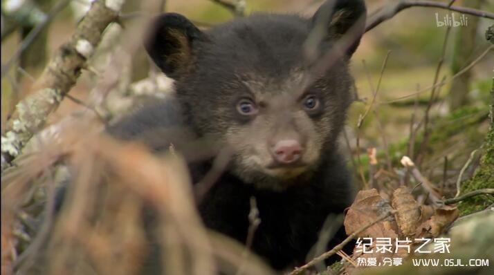 [英语中字]动物世界纪录片:莉莉-一头熊的生活-Natural World: Lily – A Bear's Life 全1集 超清1080P图片 No.1
